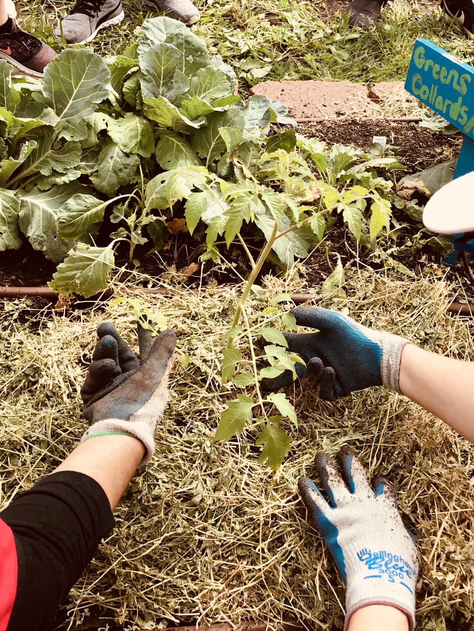 Edible academy spring workshop_Tomato Planting Demo