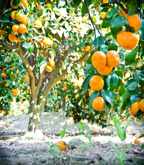 mandarine orchard_464x531