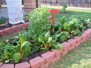 fall-gardening_tinsley_chard-1-300x225