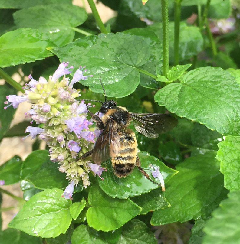 gardening for pollinators_Camia