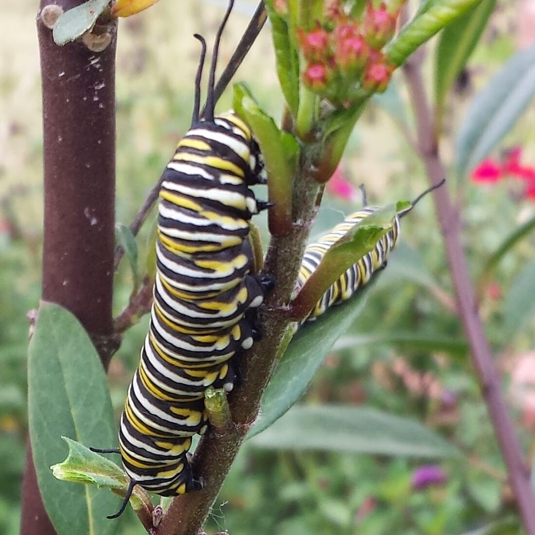 Insectary class_monarch caterpillar_cropper