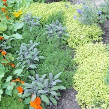 Herbs for health_herbs (2)