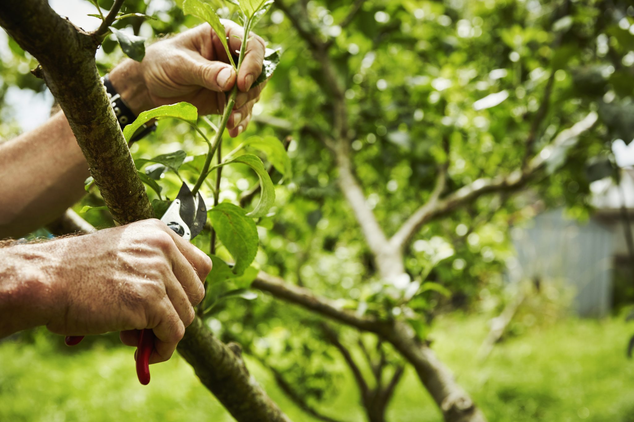 A gardener pruning fruit trees with secateurs. ,Home Gardening,United Kingdom